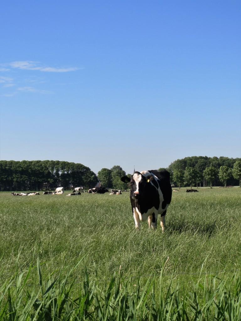 Nieuwsgierige koeien; je komt ze overal tegen