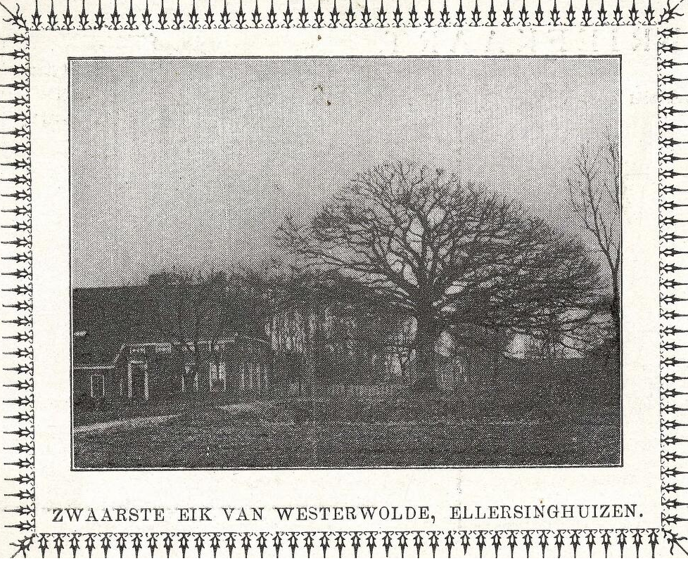 De boom stond voor de boerderij van de familie Hesse. Daarom werd de Dikke Eik ook wel de Hesse-eik genoemd. Dit is wederom een ansichtkaartje, nu uit 1935. Foto is in bezit van RHC Groninger Archieven, zie http://beeldbankgroningen.nl/beelden/detail/c4bf4ce9-03e0-810f-ed97-219fa1d78e3a/media/c415f7c4-4e55-9c1b-7fa0-6388d710e7ee?mode=detail&view=horizontal&q=ellersinghuizen&rows=1&page=12